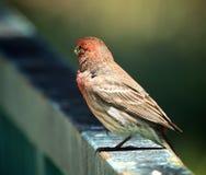 Птица зяблика дома Стоковые Фотографии RF