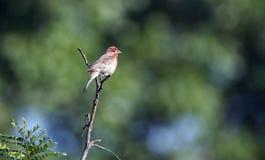 Птица зяблика дома, Walton County, Georgia США Стоковое Изображение RF
