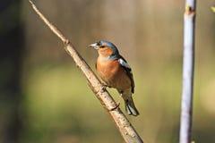 Птица зяблика весны сидя на ветви Стоковое фото RF