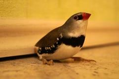 Птица зяблика диаманта Стоковые Изображения