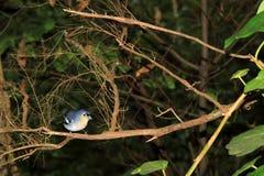 Птица зяблика (Ла Palma) на ветви Стоковые Фотографии RF
