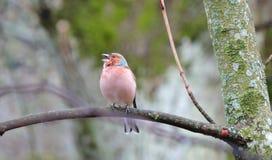 Птица зяблика на ветви дерева Стоковое Фото