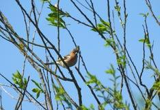 Птица зяблика на ветви дерева Стоковое фото RF