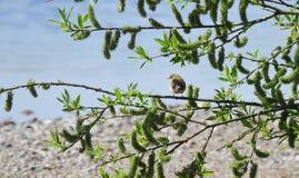 Птица зяблика на ветви дерева Стоковые Изображения