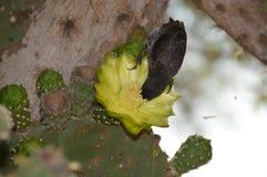 Птица зяблика на цветке кактуса стоковая фотография