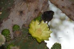 Птица зяблика на цветке кактуса стоковое изображение rf
