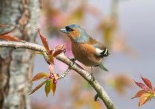 Птица зяблика садить на насест на ветви дерева Стоковые Изображения