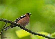 Птица зяблика садить на насест на ветви дерева Стоковая Фотография RF