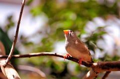Птица зяблика садить на насест на ветви Стоковое Изображение