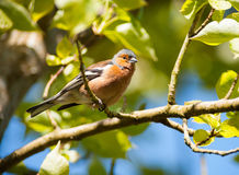 Птица зяблика садить на насест на ветви Стоковое Фото