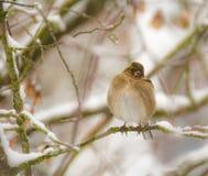 Птица зяблика сидя на снеге покрыла дерево Стоковые Фотографии RF