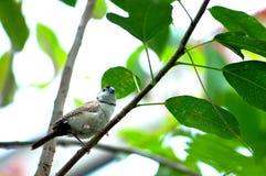 Птица зяблика сыча на ветви дерева в aviary Стоковые Фото
