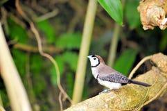Птица зяблика сыча садить на насест на ветви Стоковое Изображение