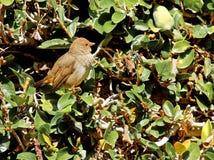 Птица зяблика Стоковое Изображение