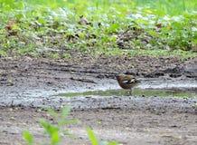 Птица зяблика Стоковые Изображения