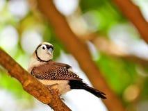 Птица зяблика Bichenos на ветви, Флориде Стоковое Изображение RF