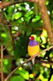 Птица зяблика Gouldian взрослого мужчины на ветви, Флориде Стоковое фото RF