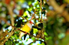 Птица зяблика Gouldian на ветви, Флориде Стоковые Изображения RF