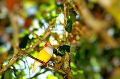 Птица зяблика Gouldian на ветви Стоковые Фотографии RF