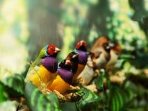 Птица зяблика Gouldian экзотическая Стоковые Изображения RF