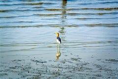 Птица идя на грязь с пульсациями морской воды Стоковая Фотография RF