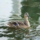 Птица дикой утки в озере Стоковое фото RF