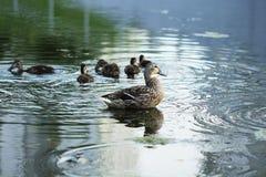 Птица дикой утки в озере Стоковые Изображения