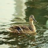 Птица дикой утки в озере Стоковые Фото