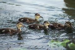 Птица дикой утки в озере Стоковые Фотографии RF