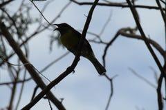 Птица или ферзь Bananaquit стоковая фотография rf