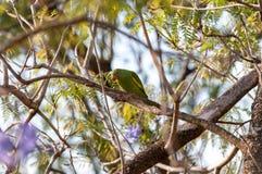 Птица длиннохвостого попугая на ветви дерева Стоковая Фотография RF