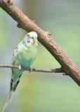 Птица длиннохвостого попугая пастели общая на ветви дерева Стоковое Фото