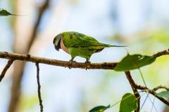 Птица длиннохвостого попугая садилась на насест на ветви ` s дерева Стоковые Фотографии RF