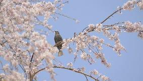Птица и вишневый цвет в Showa Kinen паркуют, токио, Япония сток-видео