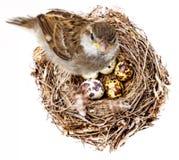Птица и гнездо стоковая фотография rf