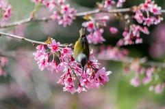 Птица и Сакура стоковые изображения