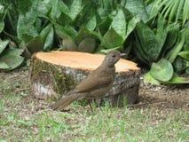 Птица идя на ¡ Sabià травы Стоковая Фотография