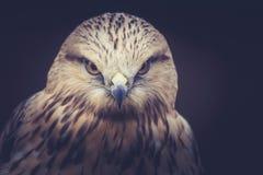 Птица канюка Стоковые Изображения RF