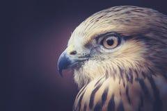 Птица канюка Стоковое Изображение RF