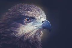 Птица канюка Стоковое фото RF