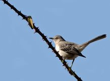 птица Каролина Стоковая Фотография