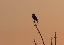 Птица коноплянки садить на насест на высокой хворостине на зоре Стоковые Изображения
