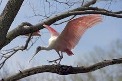 Птица колпицы идя лимб стоковое изображение