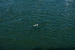 Птица крана летая над речной водой стоковые изображения