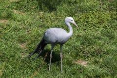 Птица крана Стоковая Фотография
