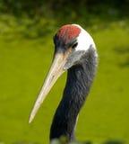 Птица крана Стоковое Изображение RF