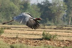 Птица крана Sarus Стоковая Фотография
