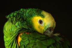 Птица красивое Papuga Ptak попугая Стоковое Изображение