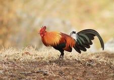 Птица красных джунглей стоковое изображение rf