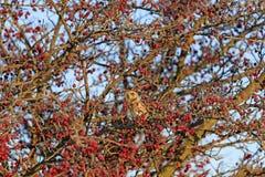 Птица красных ягод Стоковые Фотографии RF